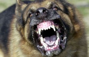 vicious_dog